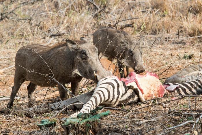 http://africageographic.com/wp-content/uploads/2016/04/warthog-zebra-carcass.jpg