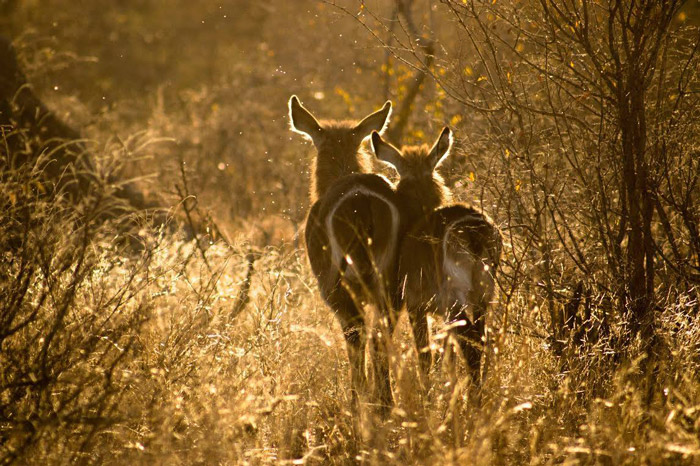 Waterbuck buddies at sunset in Klaserie Game Reserve, South Africa. Entry by Simon Webber.