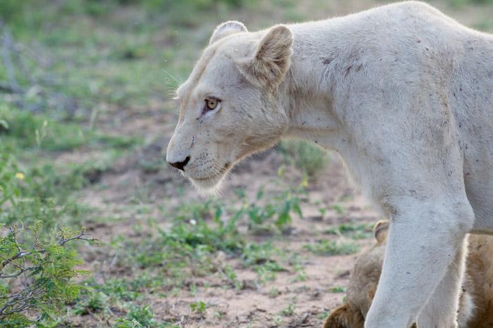white-lioness-timbavati