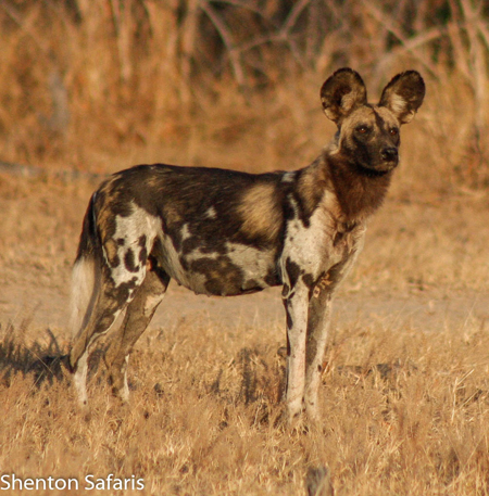 Exploring The Misunderstood Painted Wolf Africa Geographic