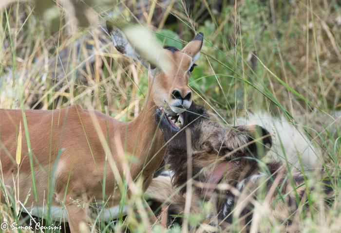 wild-dog-impala