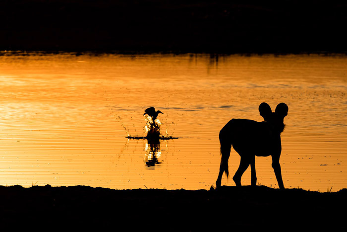 A silhouetted African wild dog watches a pied kingfisher in the Okavango Delta, Botswana. Photo competition entry by Dominik Behr.