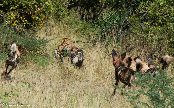 wild-dogs-chase-leopard-luangwa
