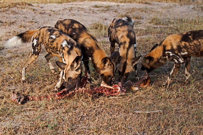 wild-dogs-feeding