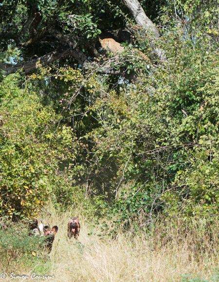 wild-dogs-leopard-in-tree