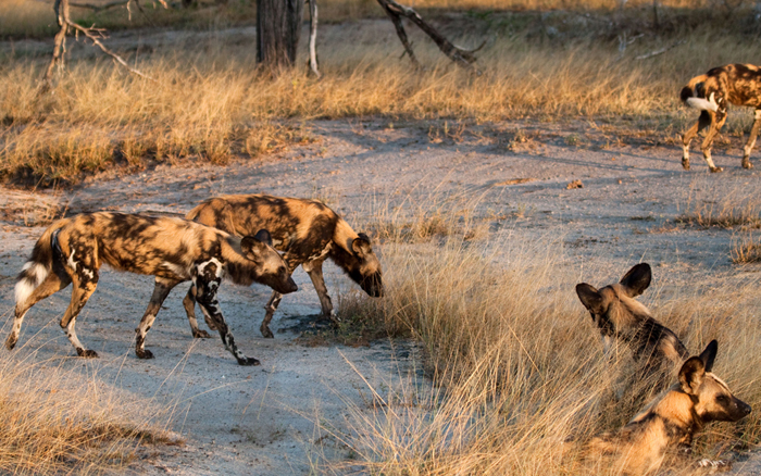 wild-dogs-slowly-coming-to