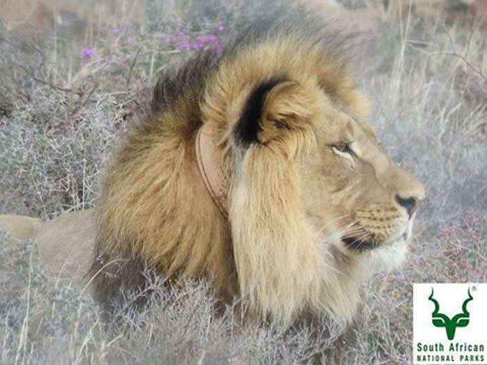 sylvester relocation lion addo elephant national park