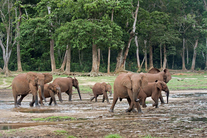African-Forest-Elephants