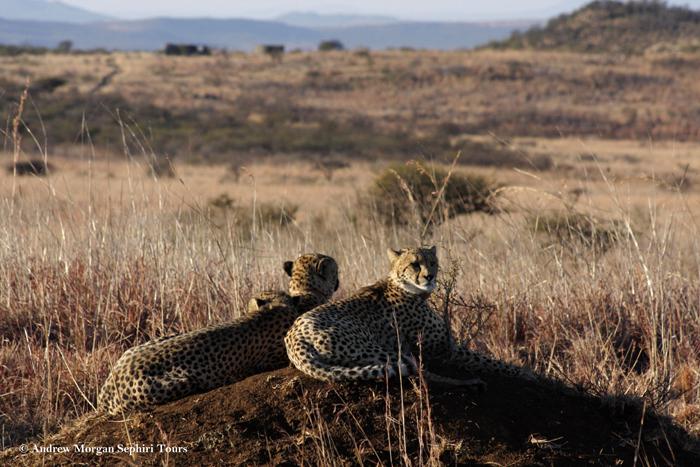 Cheetahs-on-safari