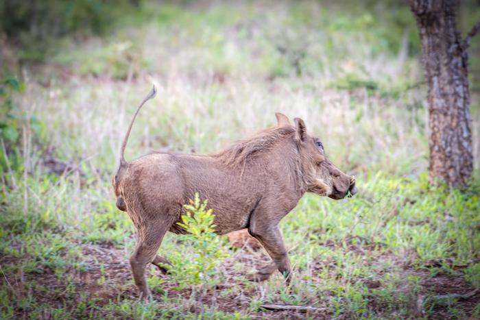 Claire-Birtwhistle-warthog