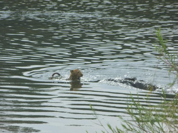 Crocodile-captures-lion-cub