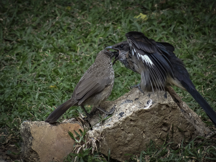 Cuckoo-and-babbler