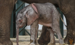 The baby elephant calf, conceived in the wild in Swaziland, born into captivity in the U.S.