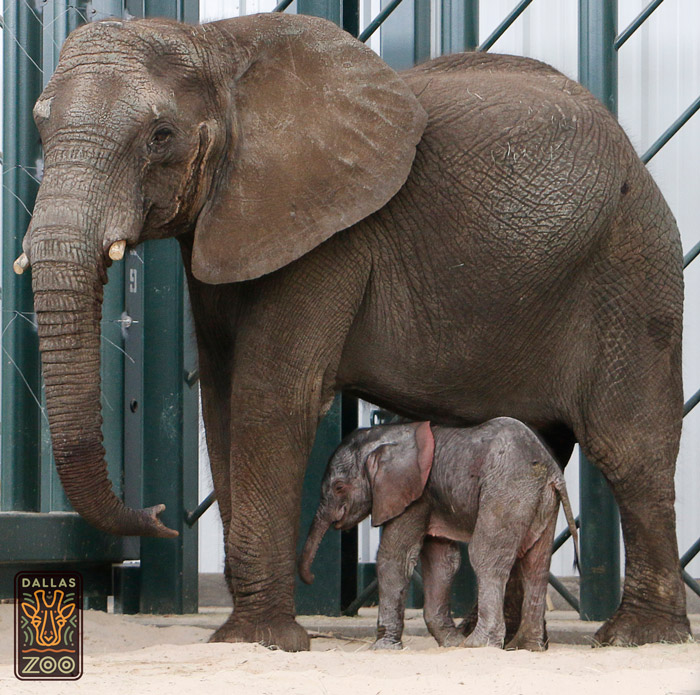 Mlilo and her new male elephant calf, born at the Dallas Zoo on 14 May 2016