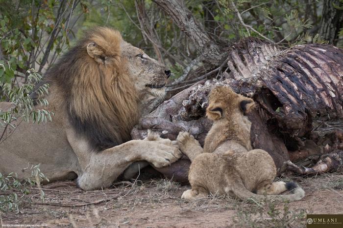 Feeding-lion-and-cub
