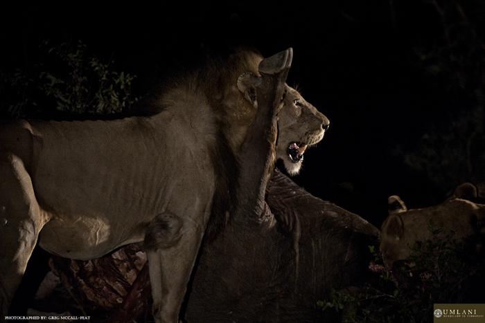 Feeding-white-lion