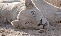 Female-white-lion