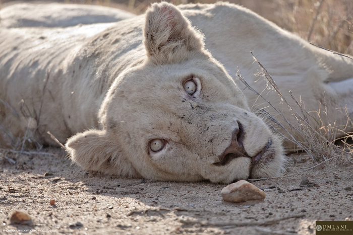 The white lions of the Timbavati - Africa Geographic