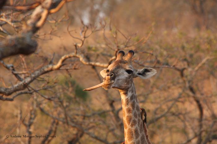 Giraffe-chewing-bone