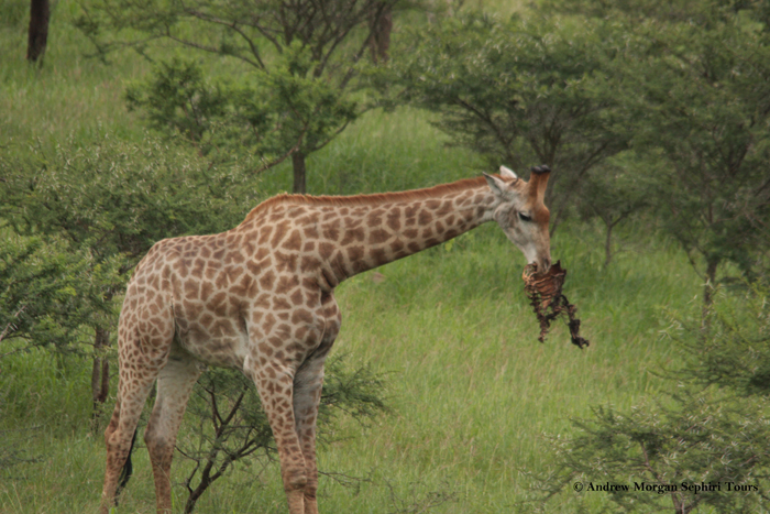 Giraffe-with-carcas
