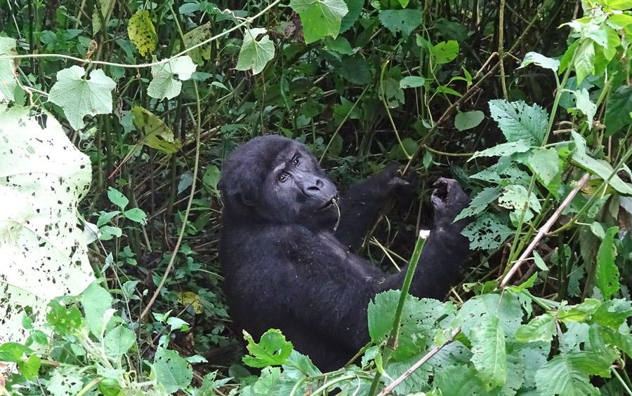 Grauers-Gorilla