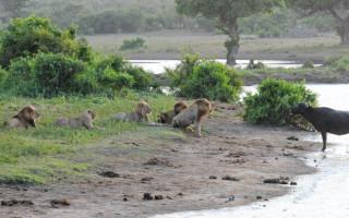 Kruger - Buffalo Kill