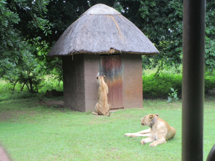 Lion-scratches-at-the-door