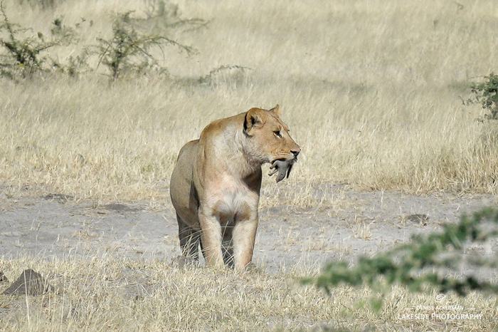 Lion-with-mongoos