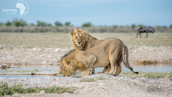 Lions-drinking