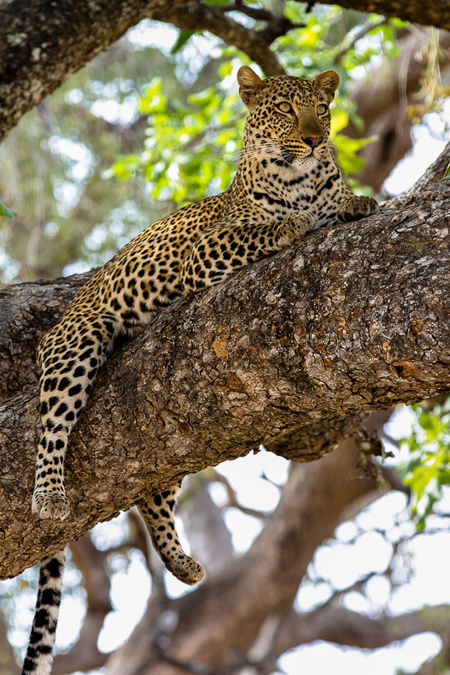 8b68ed7a02 Lucy has also proved to be an excellent hunter – she obviously learned from  the best. Leopard cubs stay with their mother for over two years and this  is ...