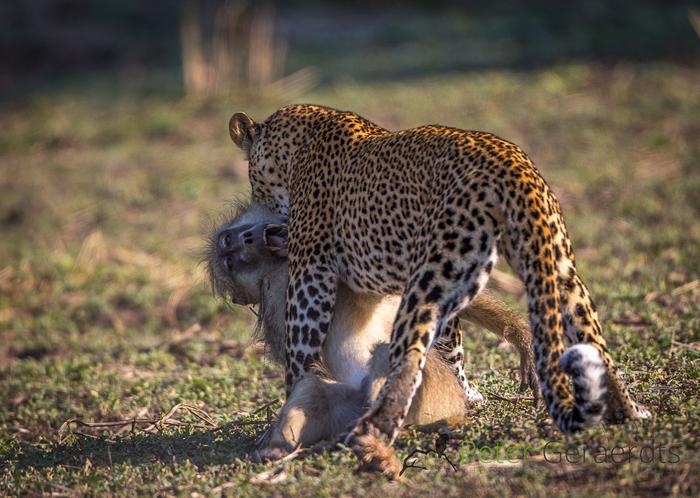 Lucy-leopard-baboon-kill