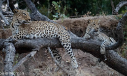 leopards-in-a-tree
