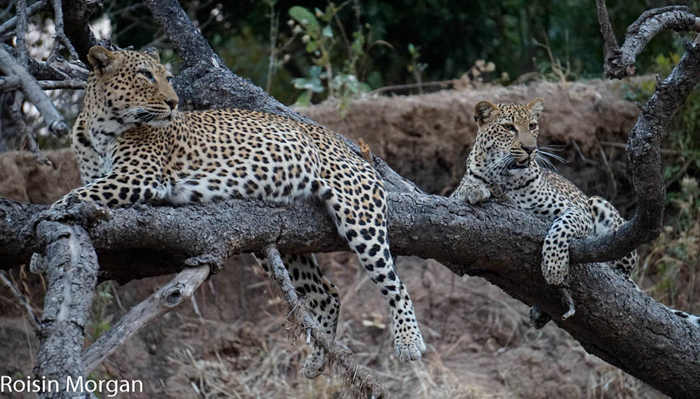 leopard family bonds hold strong