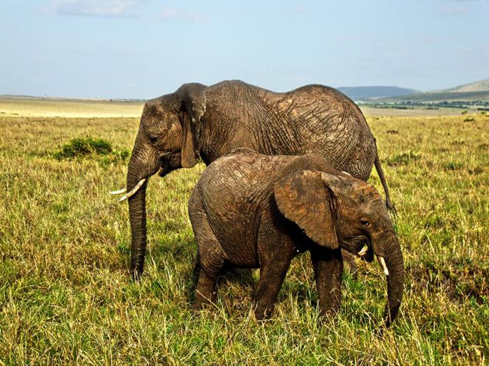 Masai Mara_elephants
