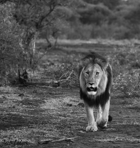 Monochrome-lion