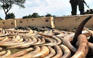 News-Elephant Tusks