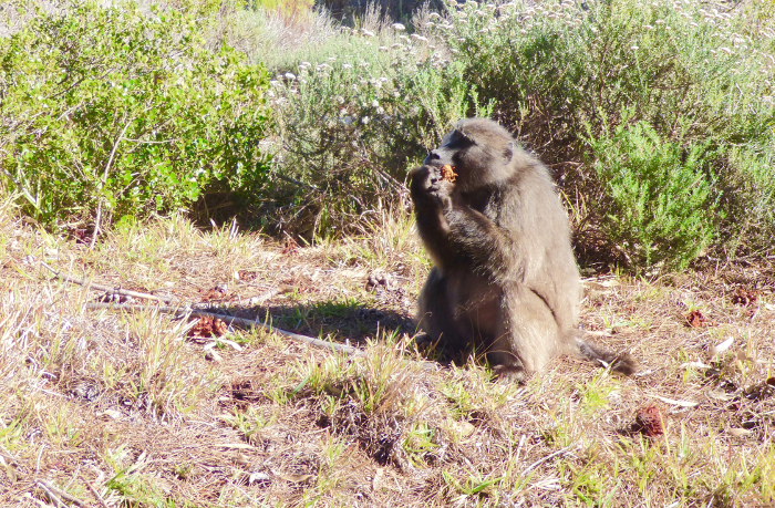 Baboon eats pine cone cape town