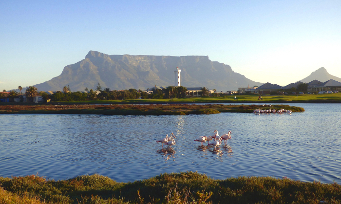 flamingoes table mountain cape town