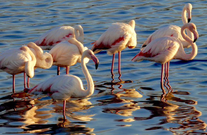 greater flamingo cape town