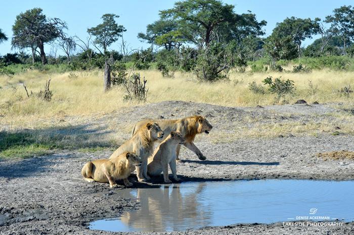 Savuti-Marsh-lion-pride