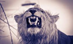 Sneering-lion