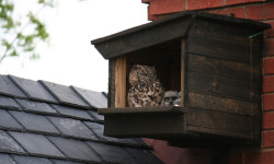Spotted Eagle Owl  Box