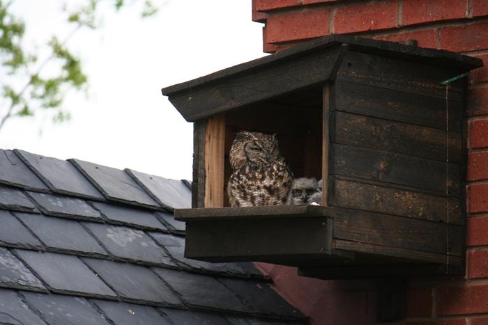Spotted Eagle Owl  Box