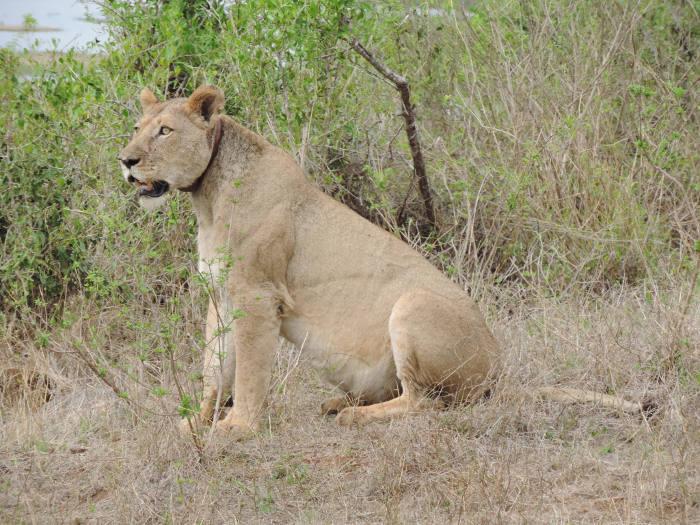 Collared-lioness-kruger