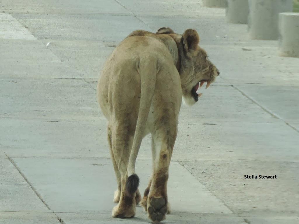 Lioness-snarling-kruger