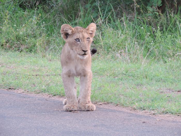 Surviving-lion-cub-kruger