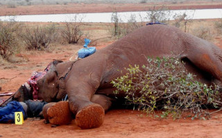 The body of a suspected poacher killed in Tsavo west lies next to the elephant carcass he had killed in this 2013 file photo