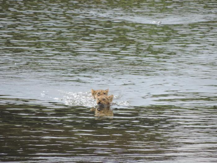 Crocodile-lion-cubs-kruger