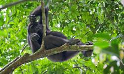 Western-Lowland-Gorilla