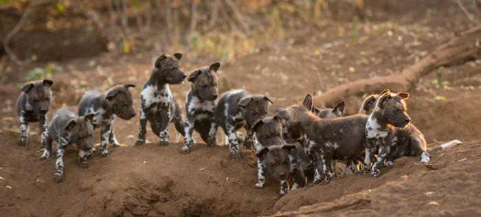 Wild Dogs-8